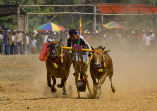 Bull races in madura island indonesia