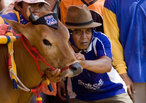 Bull races in madura island, Java  indonesia