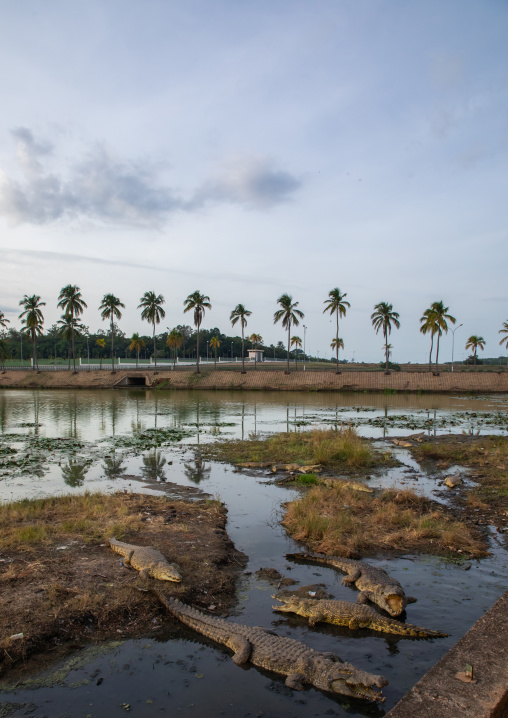 Felix Houphouet-Boigny's sacred crocodiles living in the artificial lake of the presidential palace, Région des Lacs, Yamoussoukro, Ivory Coast