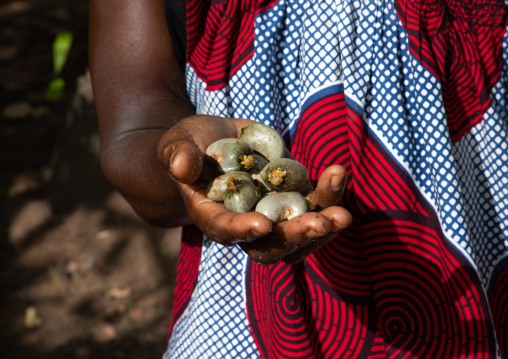 African woman with fresh karite in her hand, Savanes district, Shienlow, Ivory Coast
