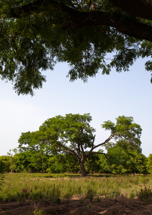 Plantation of shea butter or karite trees, Savanes district, Shienlow, Ivory Coast