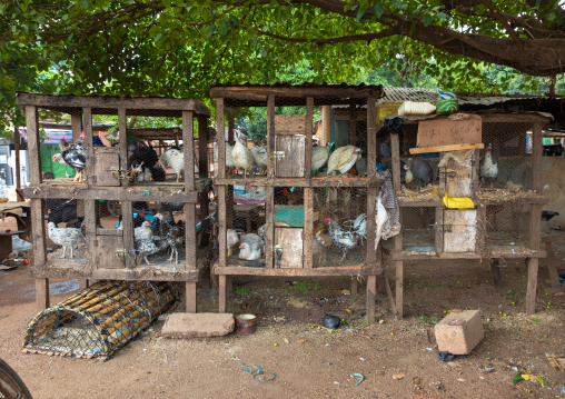 Guinea fowls and chickens for sale in a market, Savanes district, Kouto, Ivory Coast