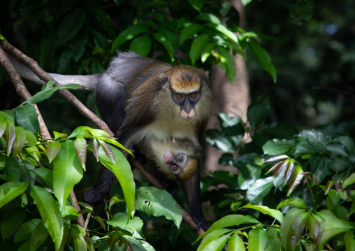 Staring macaque monkey mother with a baby in the forest, Tonkpi Region, Man, Ivory Coast