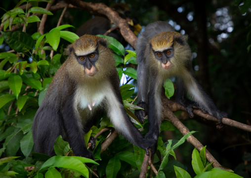 Macaque monkeys in the forest, Tonkpi Region, Man, Ivory Coast