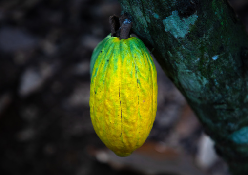 Yellow cocoa pod on the tree, Région des Lacs, Yamoussoukro, Ivory Coast