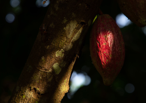 Red cocoa pod on the tree, Région des Lacs, Yamoussoukro, Ivory Coast