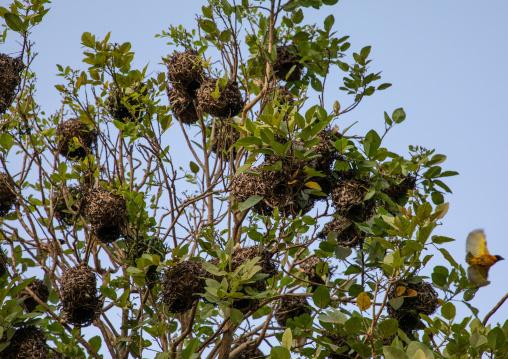 Yellow weaver birds nests, Savanes district, Yamoussoukro, Ivory Coast