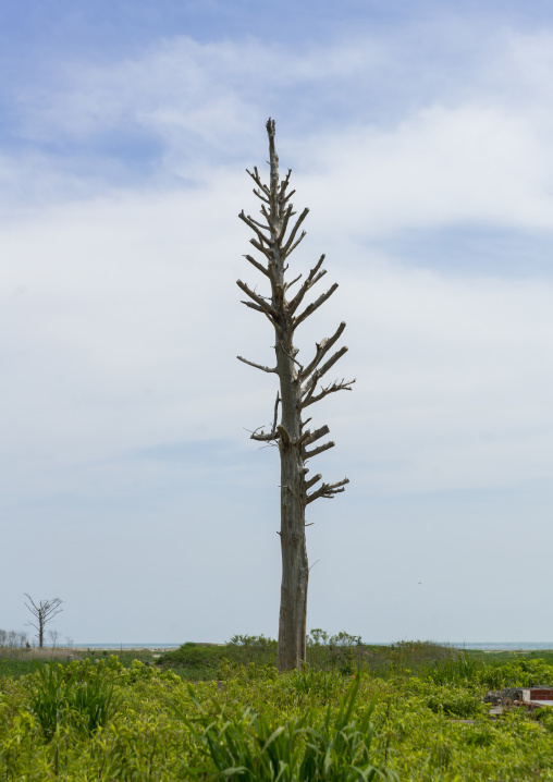 Lonely tree in the highly contaminated area after the daiichi nuclear power plant irradiation and the tsunami, Fukushima prefecture, Futaba, Japan