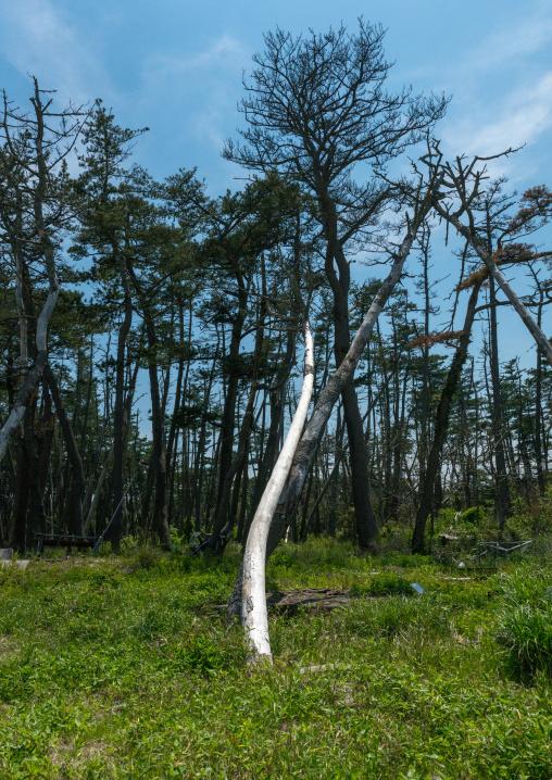 Tree after the 2011 tusnami, Fukushima prefecture, Futaba, Japan