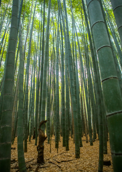 Arashiyama bamboo grove, Kansai region, Arashiyama, Japan