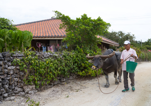 Japanses man passing in front of a house with a buffalo, Yaeyama Islands, Taketomi island, Japan