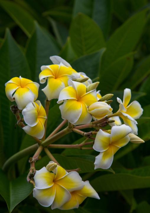 Close-up of frangipani blooming outdoors, Yaeyama Islands, Taketomi island, Japan