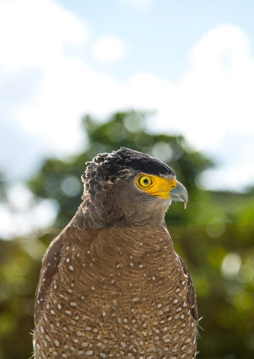 Ryukyu serpent eagle head, Yaeyama Islands, Ishigaki, Japan