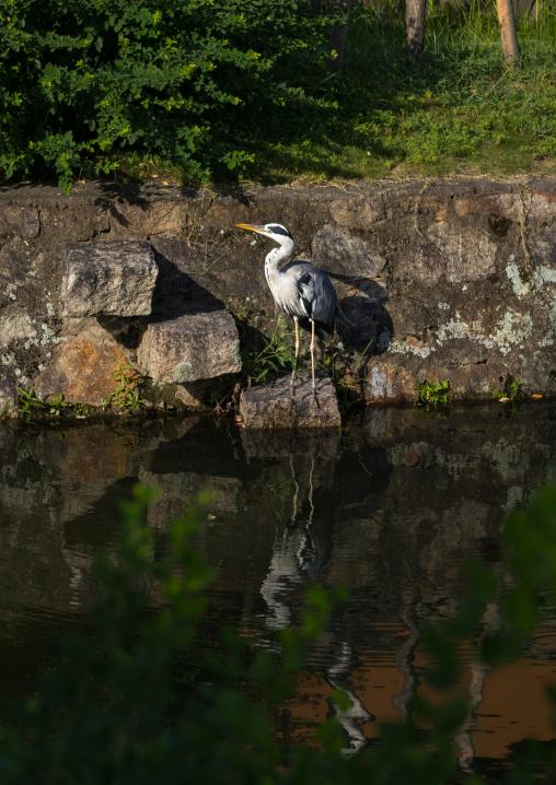 Grey heron on the riverbank, Okayama Prefecture, Kurashiki, Japan