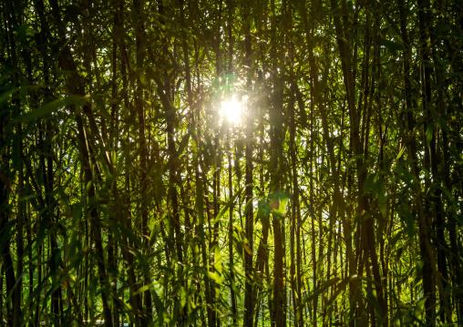 Bamboos forest in Kokoen garden, Hypgo Prefecture, Himeji, Japan