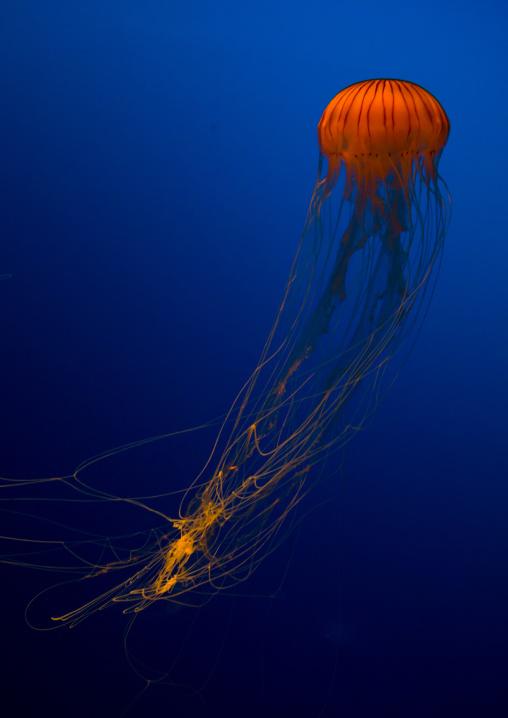 Brown jellyfish with tentacles swimming in Kaiyukan aquarium, Kansai region, Osaka, Japan