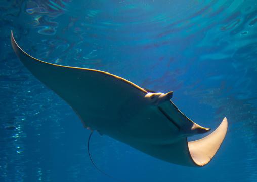 Manta ray in Kaiyukan aquarium, Kansai region, Osaka, Japan