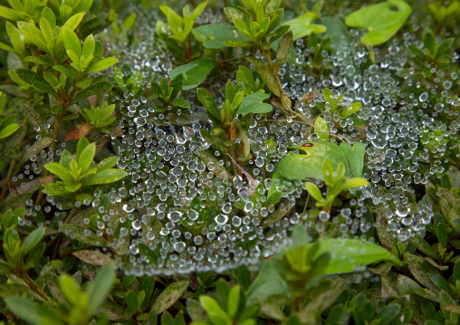 Dew water drops in the morning on a spider net, Izu peninsula, Izu, Japan
