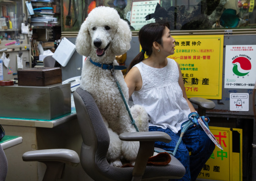 Portrait of big poodle sitting on chair, Kanto region, Tokyo, Japan
