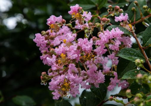 Pink flowers with rain drops, Kyoto Prefecture, Miyama, Japan