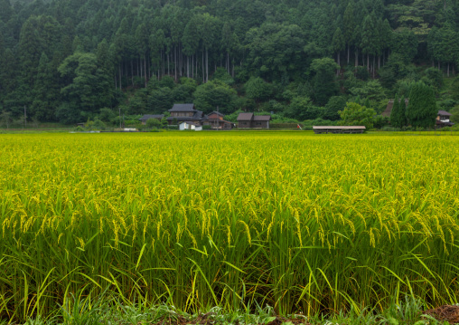 Rice Paddy, Kyoto Prefecture, Miyama, Japan