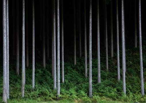 Trunks trees, Kyoto Prefecture, Miyama, Japan