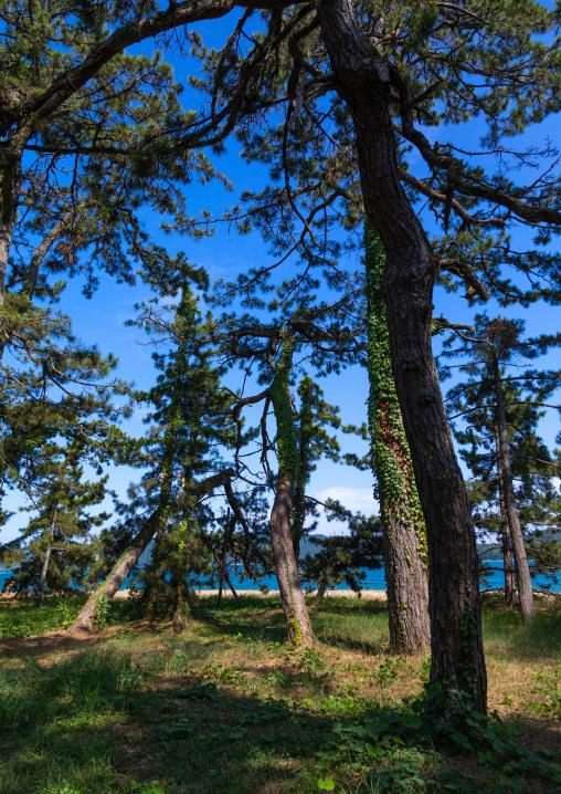 Pine trees Amanohashidate sandbar, Kyoto Prefecture, Miyazu, Japan