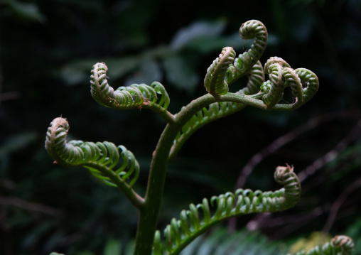 Close-up of ferns growing outdoors, Yaeyama Islands, Ishigaki-jima, Japan