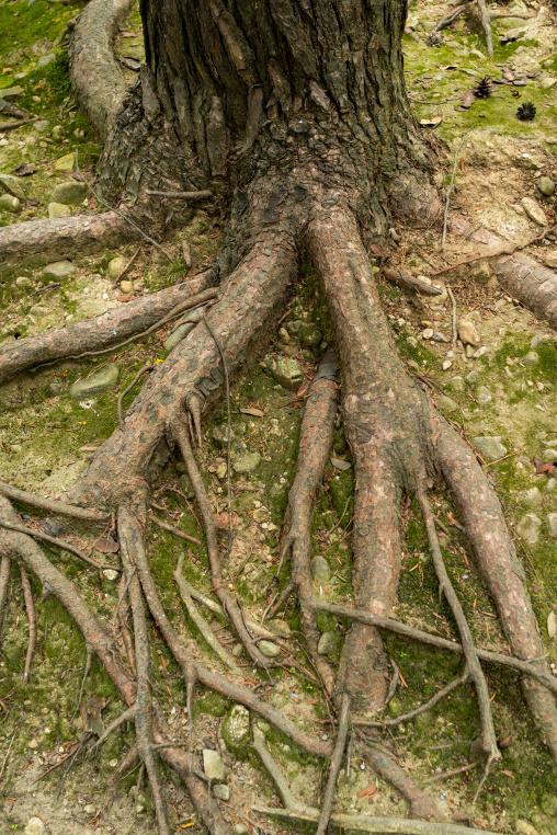 Tree roots in Kenroku-en garden, Ishikawa Prefecture, Kanazawa, Japan