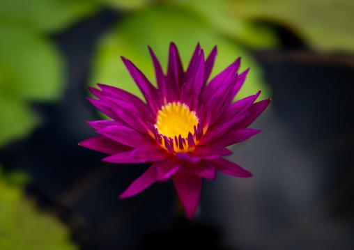Nymphaea lotus water lily in botanic garden, Kansai region, Kyoto, Japan