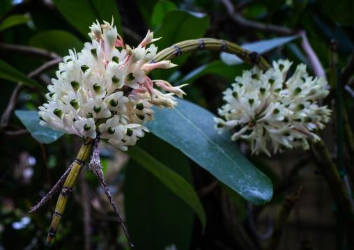 Dendrobium smilliae in the Kyoto botanical garden, Kansai region, Kyoto, Japan