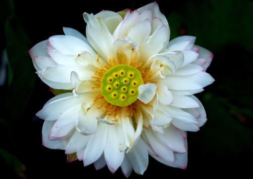 Close-up of white lotus water lily, Kansai region, Kyoto, Japan