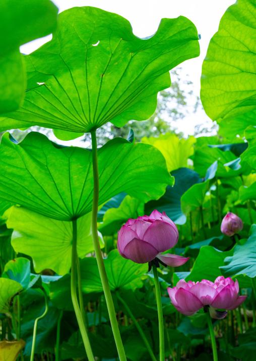Pink lotus water lily, Kansai region, Kyoto, Japan