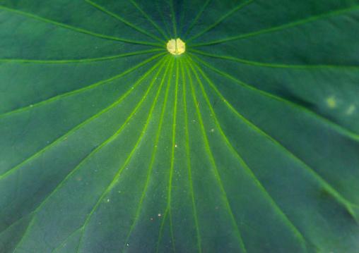 Giant lotus leaf in the the Kyoto botanical garden, Kansai region, Kyoto, Japan
