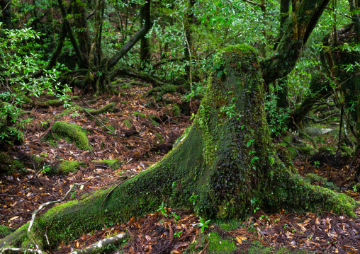 Tree trunk with moss in Yakusugi land, Kagoshima Prefecture, Yakushima, Japan