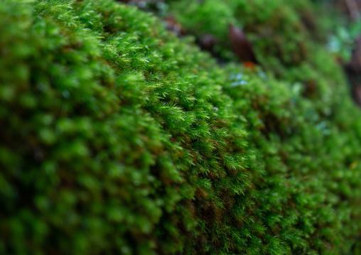 Moss in Yakusugi land, Kagoshima Prefecture, Yakushima, Japan