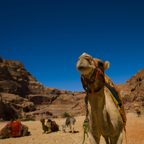 Decorated Camels In Petra, Jordan