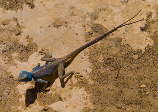 Blue Lizard On Rocks, Petra, Jordan