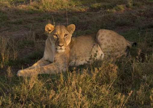 Lioness (panthera leo) resting, Laikipia county, Mt kenya national park, Kenya