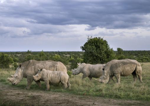 Black rhinos (diceros bicornis), Laikipia county, Ol pejeta, Kenya