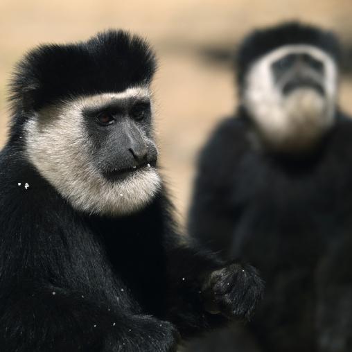 Colobus monkey, Kenya