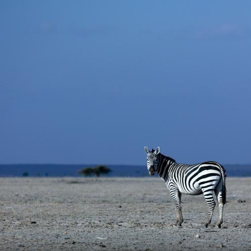 Single Burchell's zebra against blue sky, Kajiado County, Amboseli park, Kenya