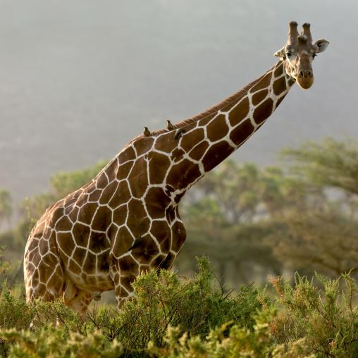 Giraffe amongst the trees, Rift Valley Province, Maasai Mara, Kenya