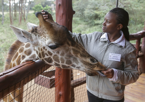 Giraffe (giraffa camelopardalis rothschildi) at giraffe center, Nairobi county, Nairobi, Kenya