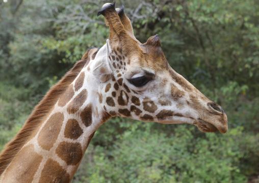 Giraffe (giraffa camelopardalis rothschildi) head at giraffe center, Nairobi county, Nairobi, Kenya