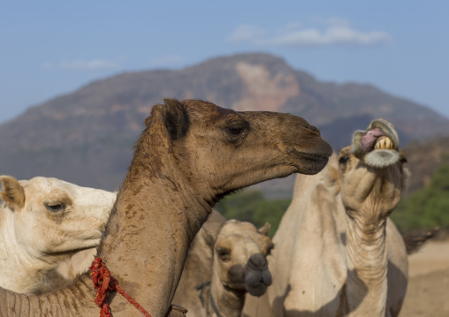 Rendille tribe camels, Marsabit district, Ngurunit, Kenya