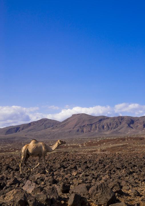 Camel on volcanic rocks, Turkana lake, Loiyangalani, Kenya