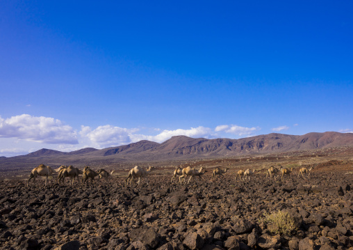 Camel herd on volcanic rocks, Turkana lake, Loiyangalani, Kenya