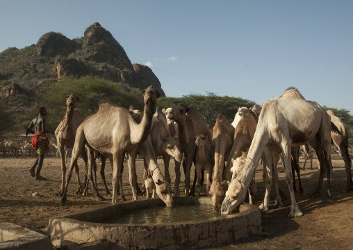 Camels of rendille tribe drinking water from a singing well, Marsabit district, Ngurunit, Kenya