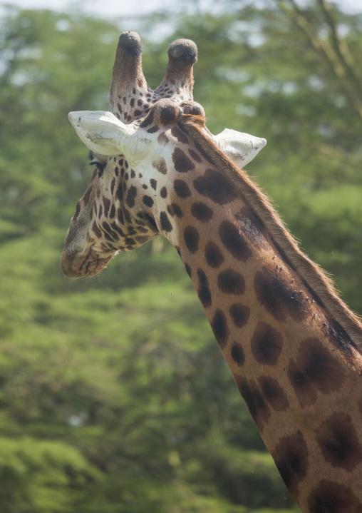 Rothchild's giraffe (giraffa camelopardalis), Nakuru district of the rift valley province, Nakuru, Kenya
